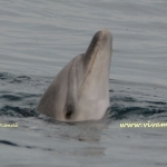 delfin-spyhopping1