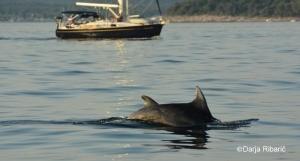 dolphins&sailing boatR