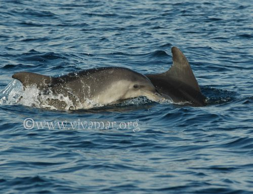 Vivamar names a free living calf after a dead captive dolphin